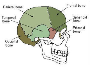 Sphenoid-Bone.jpg