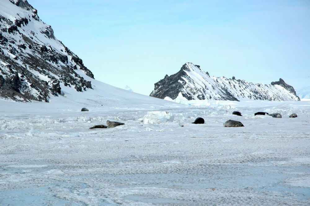 Weddell seals pulled out on the ice near Little Razorback Island