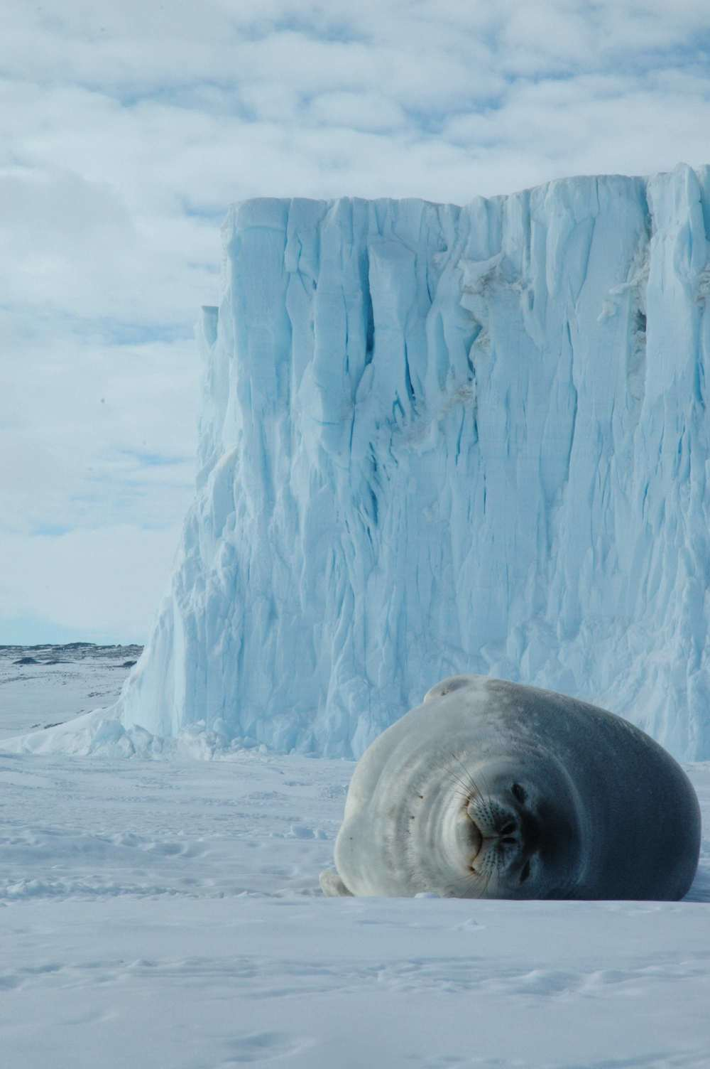 A Weddell seal chillaxing on the sea ice in front of the Barne Glacier.
