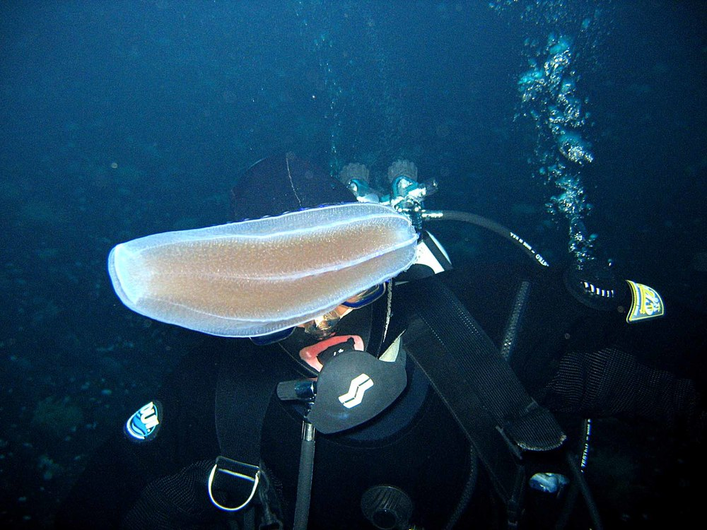 Amy checks out a giant ctenophore in Antarctica