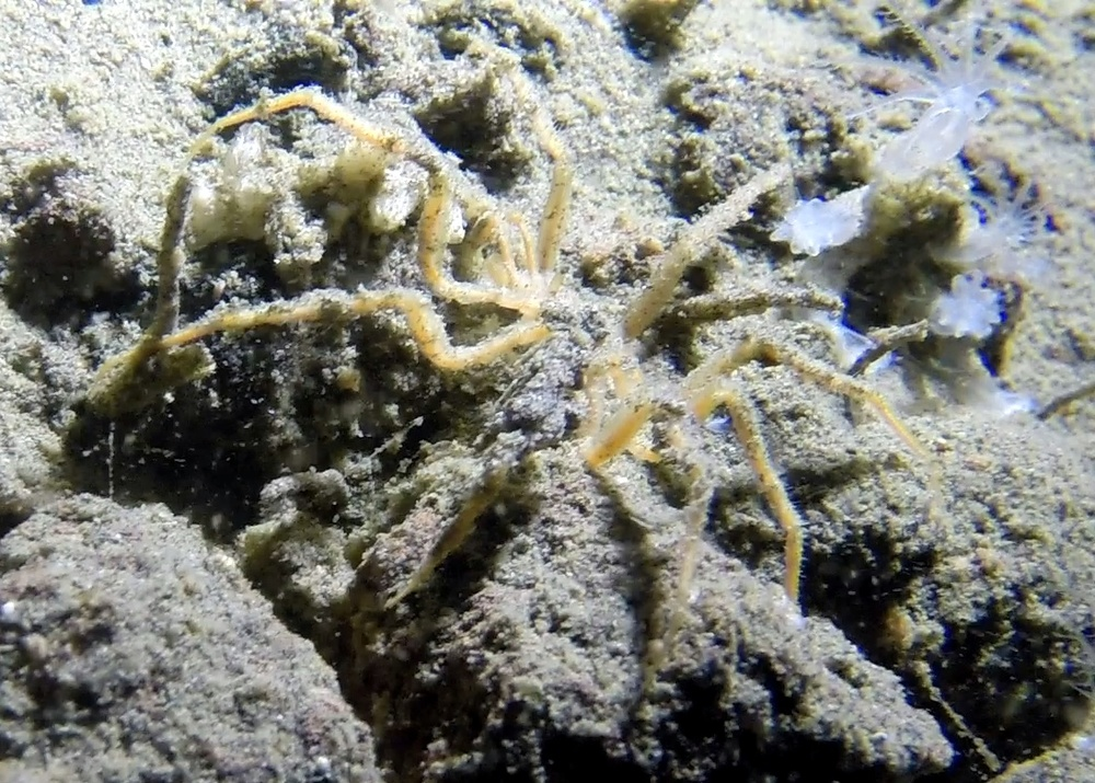 Sea spider! -  Nymphon  sp. partially buried in the mud