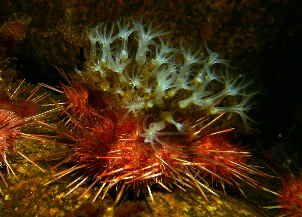 Sea_Urchin_with_Anemone_Camoflage_Granite_Harbor.JPG