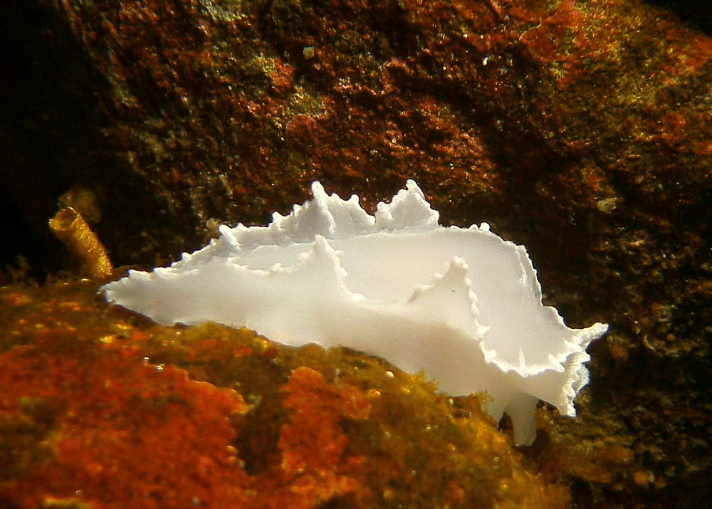 Nudibranch_Granite_Harbor.JPG