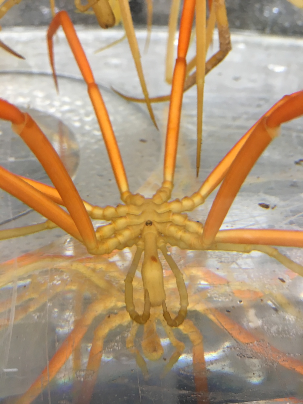 A large specimen of  Colossendeis  - either  C. australis  or  C. scotti .  Two of its four eyes are visible on the ocular tubercle on its head.  Other appendages visible are the eight walking legs (orange), the pedipalps on either side of the head, and the proboscis.