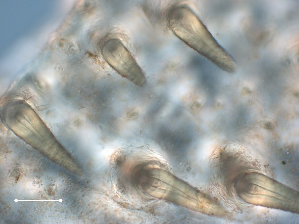 Cuticle of an  Ammothea -type pycnogonid viewed at 20x with light microscopy, showing pores and hollow spines on the surface.  Scale bar is 100 microns.