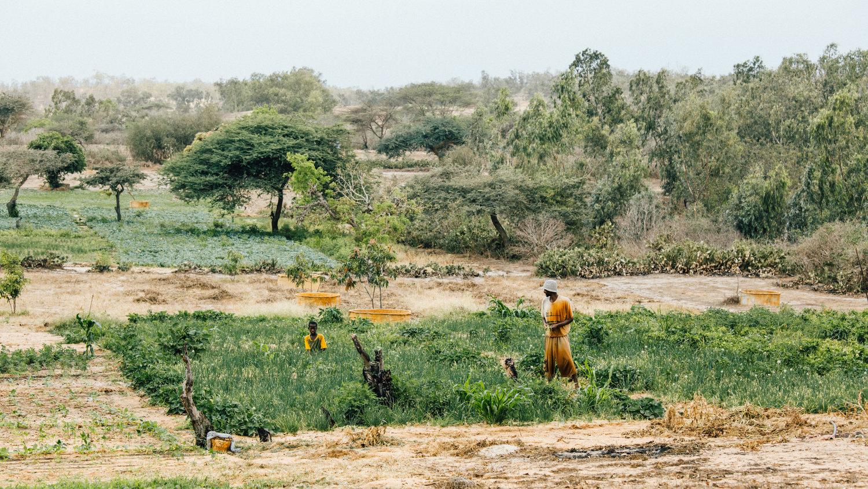 Cultivation près du désert de Lompoul.