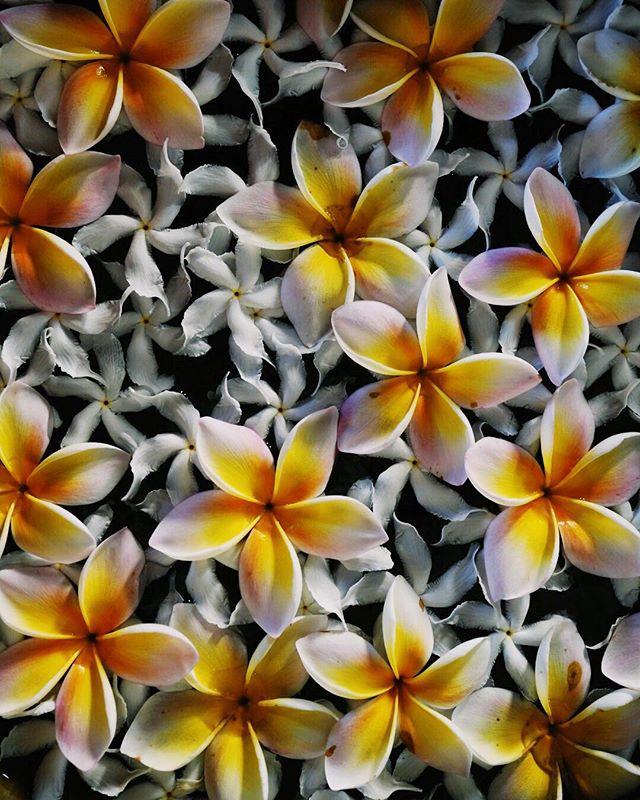 La fleur du frangipanier occupe une place importante dans la culture thaïlandaise et tout particulièrement au sein des rituels bouddhistes. On la retrouve énormément en décoration dans les salons de massage, véritable «temple» du bien être et de la zénitude. Il paraîtrait qu'un simple regard vers cette fleur peut chasser toutes les idées noires. Qu'en pensez vous? - - - - #thailand #frangipani #flower #travel #zen #massage #beautifuldestinations #asia #wellness #passionpassport #travelgram