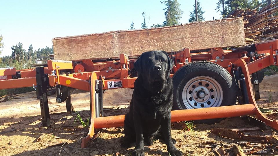 This is Lancelot, the saw-dog. He supervises our work to ensure the highest quality. He also tends to sit in the sawdust and woodchips, which we don't mind because it means he will smell great when we get back home! Lance is also quite active in politics - he even has his own Facebook page! - Update - Unfortunately our Lancelot passed away in 2017, but I can't bear to take this picture down.