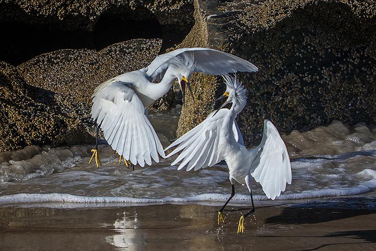 snowy-egrets-2-750.jpg