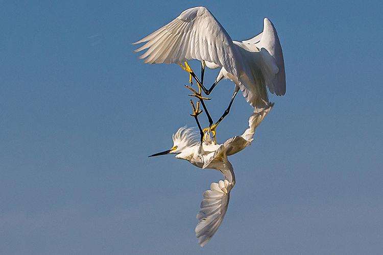 snowy-egrets-750.jpg
