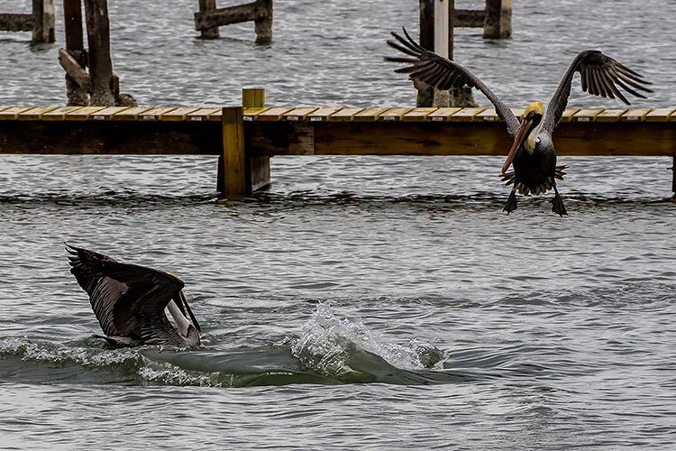 dolphins-pelicans-750.jpg