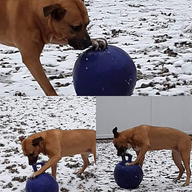 Betty playing with her ball outside!! #dawgparadise