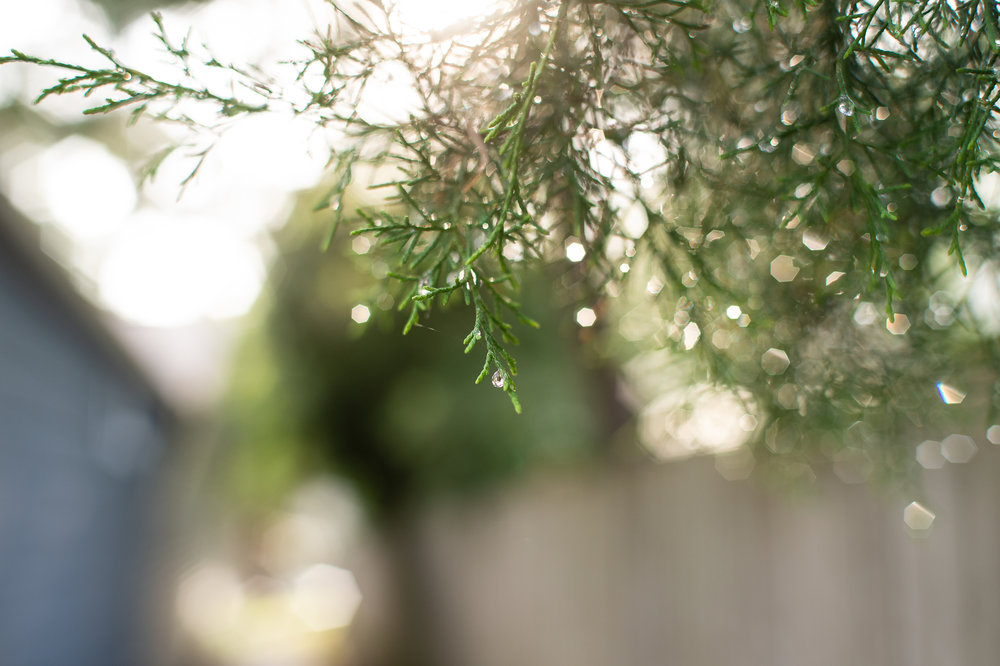 droplets on cedar (1 of 1).jpg
