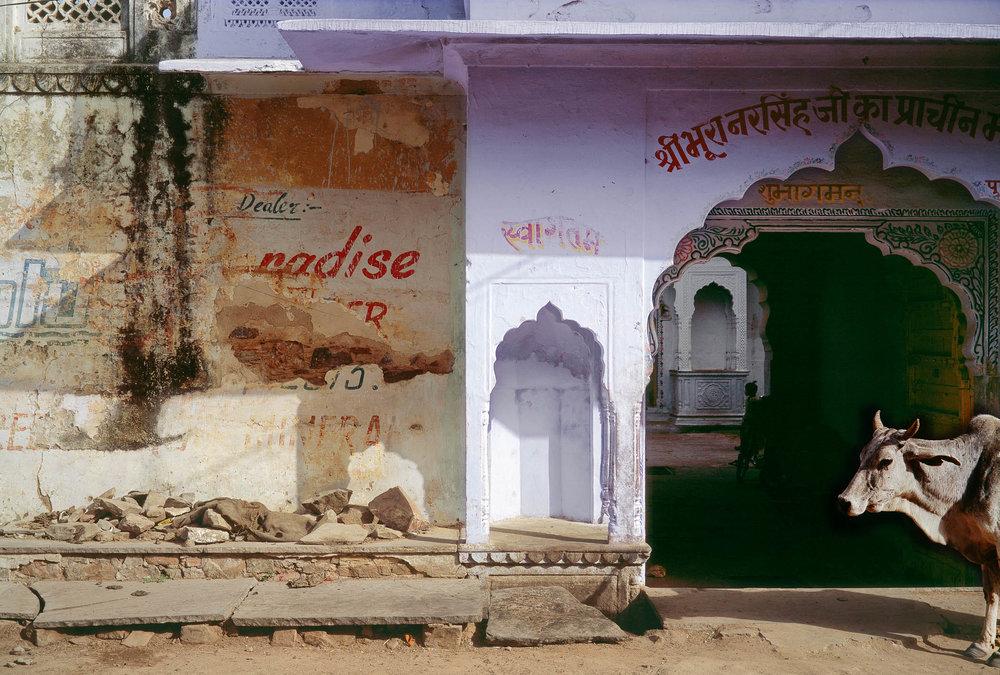 Sacred_cow-_Pushkar_14_x_20.jpg
