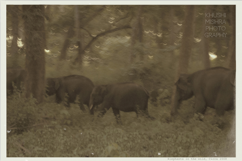 Elephants in the wild, Circa 2008