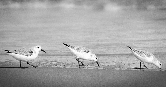 Three different #sandpiper #birds just chillin at the #beach with me. This was taken on super old school #Kodak #tmax400. Any other #darkroomers out there? @kodak #ducknorthcarolina #northcarolina #outerbanks #beach #beachlife #atlanticocean