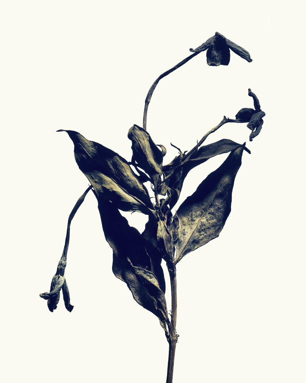 Plate 05: Bouvardia  Edition: Signed &limited to 10  Size: 1118mm x 1397mm  Flower: Bouvardia_leiantha