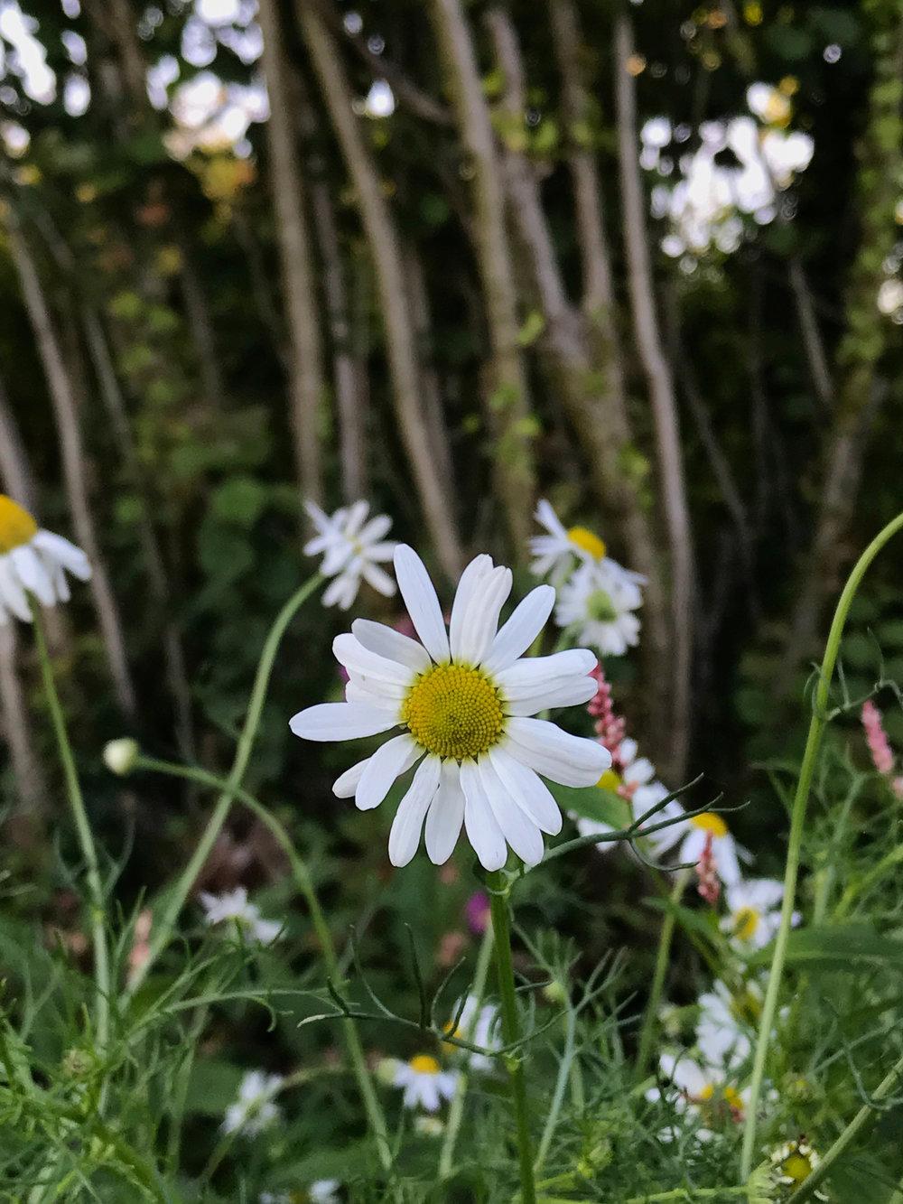 Daisy shot with Camera+ macro setting.