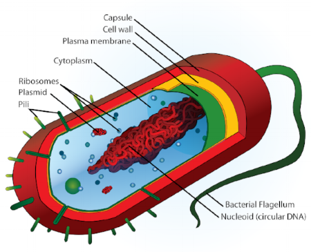 Flagella are primarily motile appendages, but also sensory, and are found commonly in the cell bodies of bacteria.