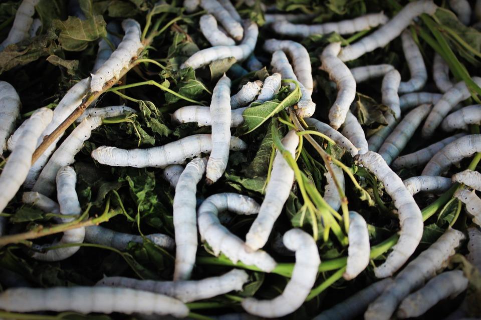 silkworm.jpg