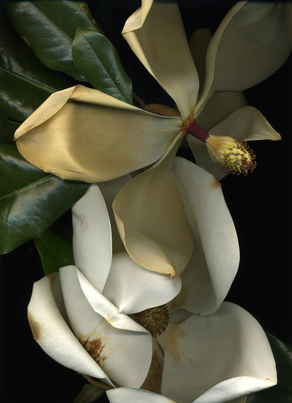 Magnolia (from the series Botanica)  Pigment inkjet print on paper  15 x 19 in.