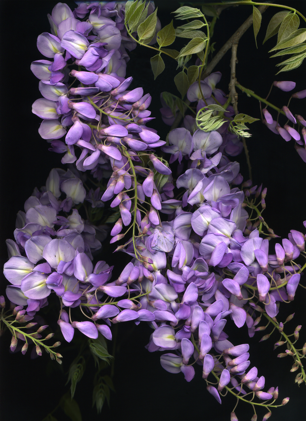 Wisteria (from the series Botanica)  Pigment inkjet print on paper  15 x 19 in.