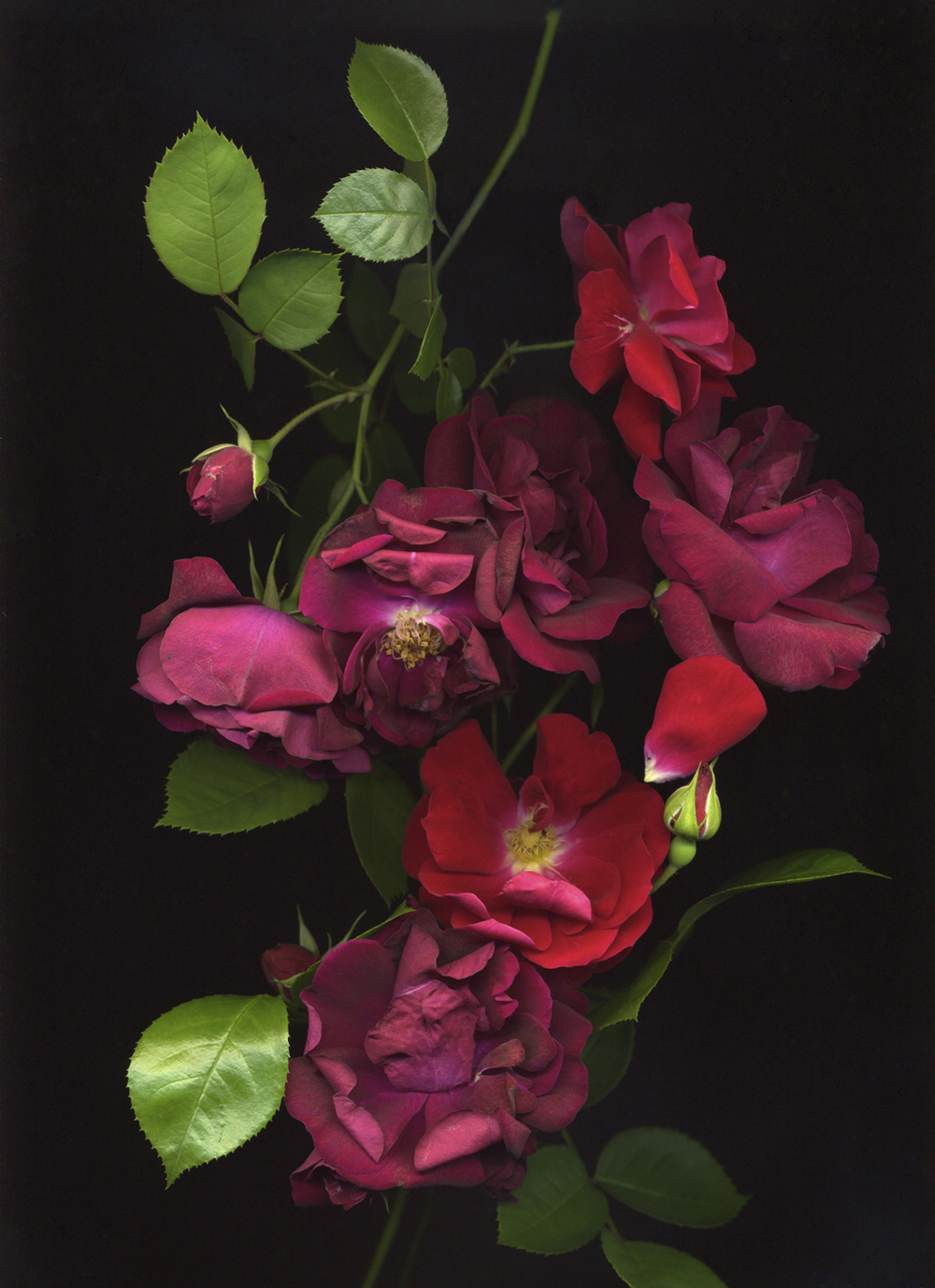 Roses (from the series Botanica)  Pigment inkjet print on paper  15 x 19 in.