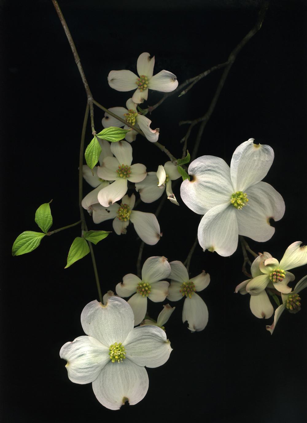 Dogwood (from the series Botanica)  Pigment inkjet print on paper  15 x 19 in.