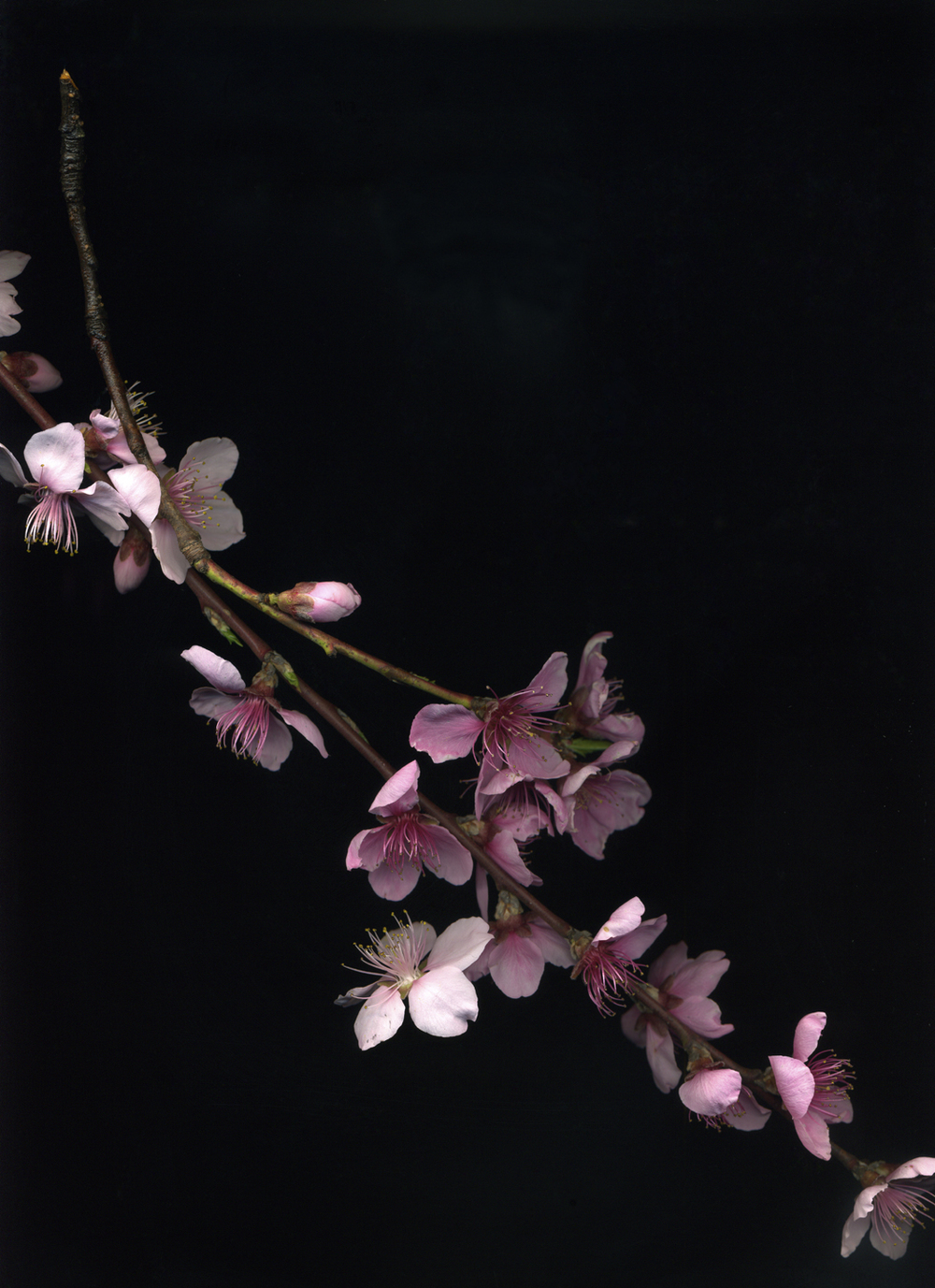 Peaches (from the series Botanica)  Pigment inkjet print on paper  15 x 19 in.