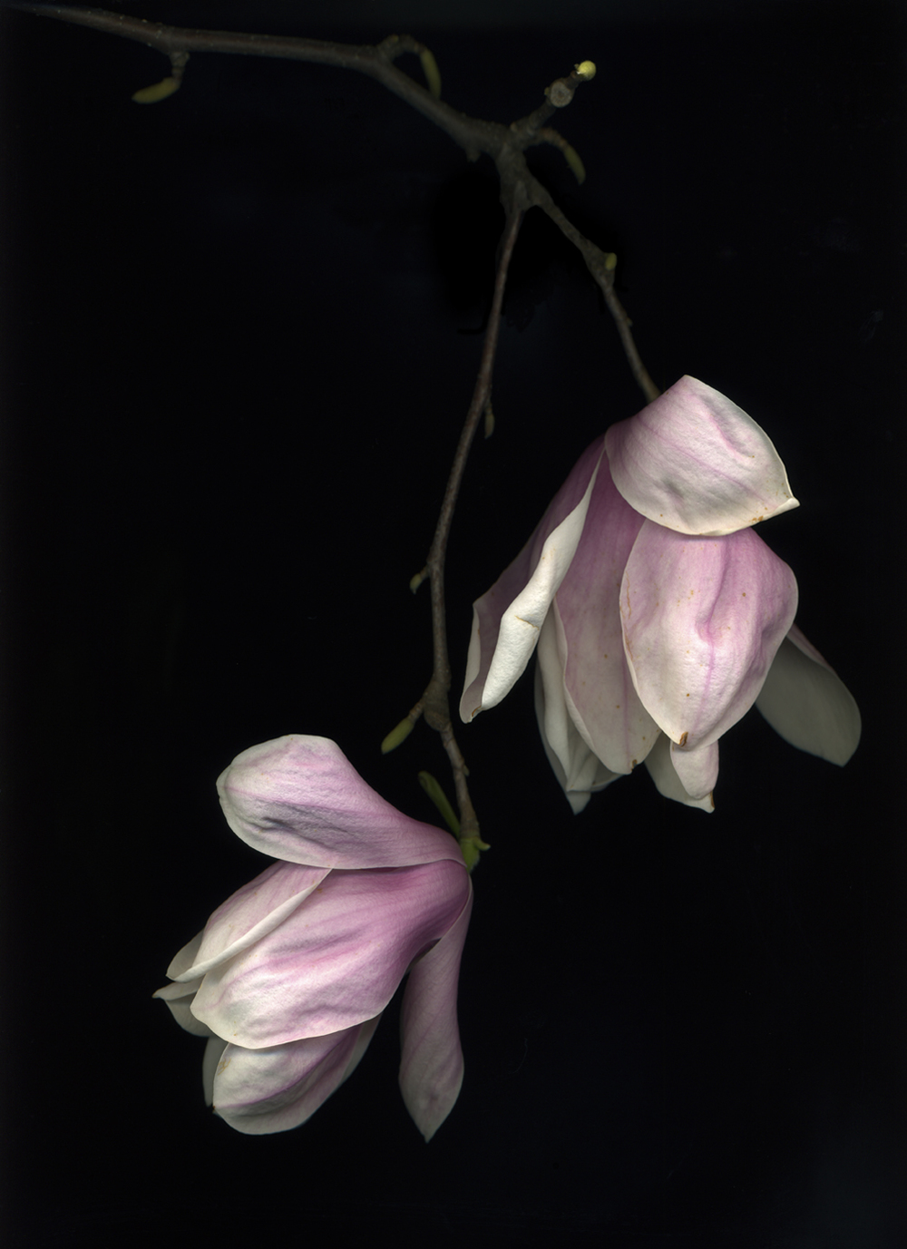 Tulip Magnolia (from the series Botanica)  Pigment inkjet print on paper  15 x 19 in.