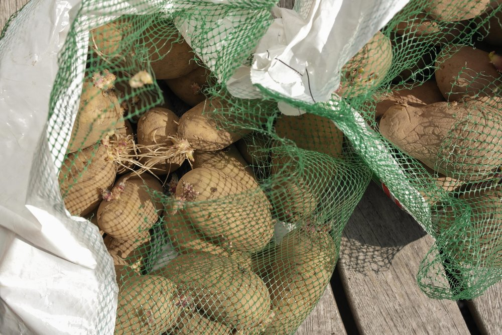 chitting potatoes - once you have 2-3 good sprouts it is time to get them in your gro-sacks