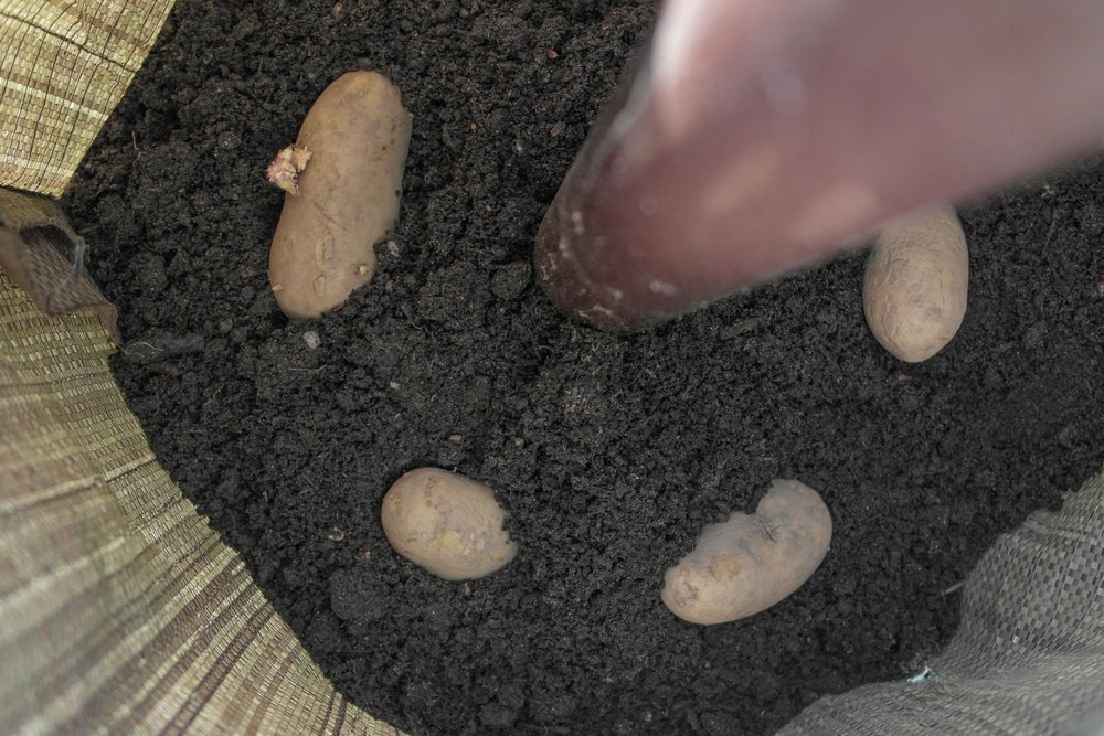 planting tubers - cover with a further 5cm (2