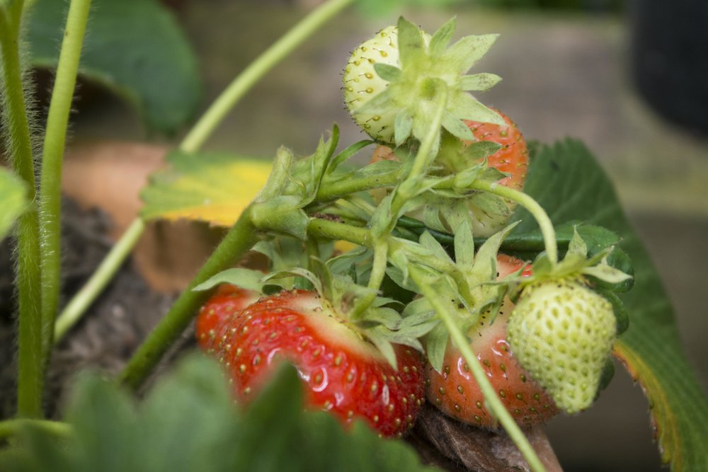 strawberry crop - coming to an end