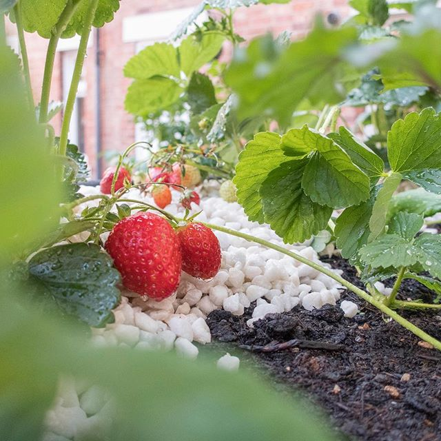 strawberries, strawberries, strawberries!! I love popping outside each morning to grab a few fresh strawberries for my breakfast....are you growing any this year? • • • #strawberries #growyourown #fresh #breakfast #quintisentiallybritish #wimbeldon #knowwhatyoueat #vegtrug #courtyardgarden #thegoodlife