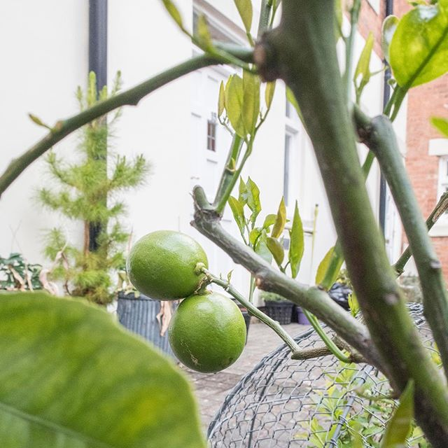 my little lemon tree is loving all of this sunshine • • • #courtyardgarden #growyourown #organic #lemontree #gardening #knowwhatyoueat #victorianstyle #lemon #suntrap