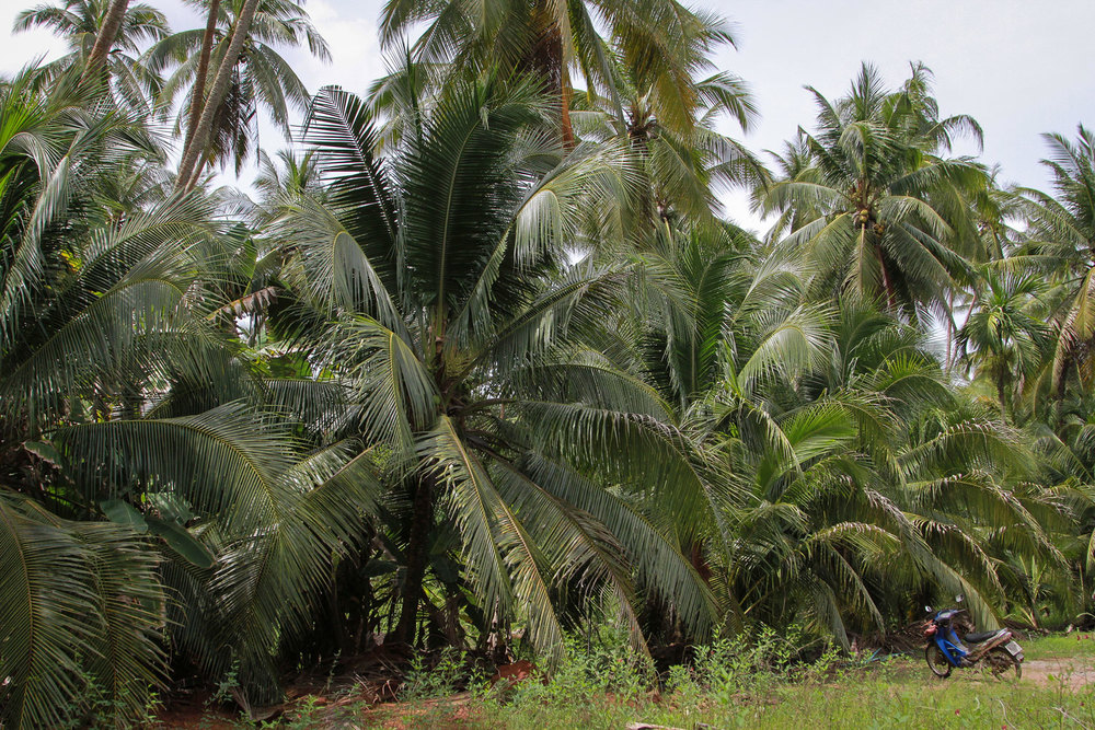 Herb Hero coconut plantation