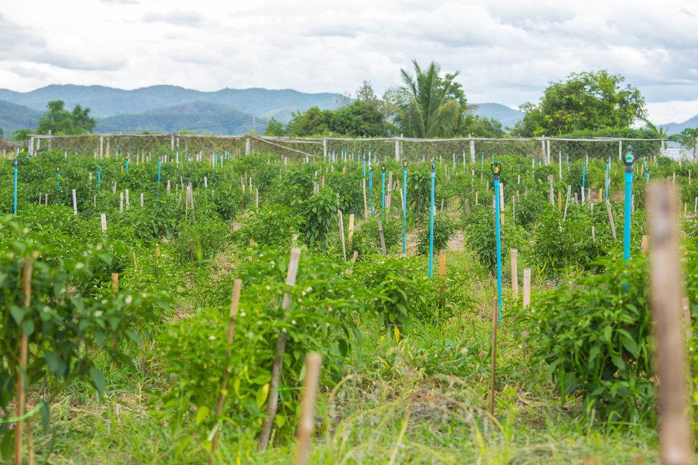 Herb Hero plantation