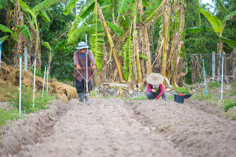 Herb Hero farmers, Lamphun province