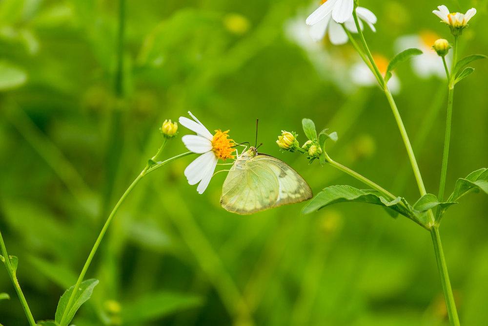 Herb Hero butterfly