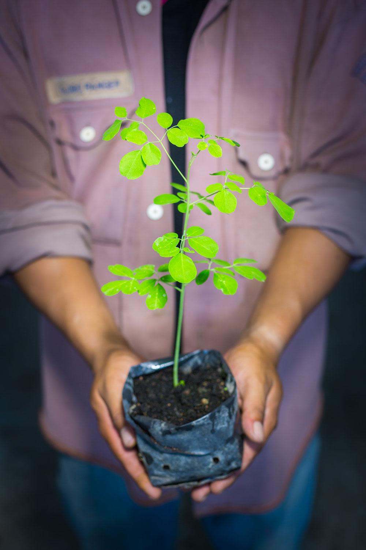 Herb Hero Moringa plant
