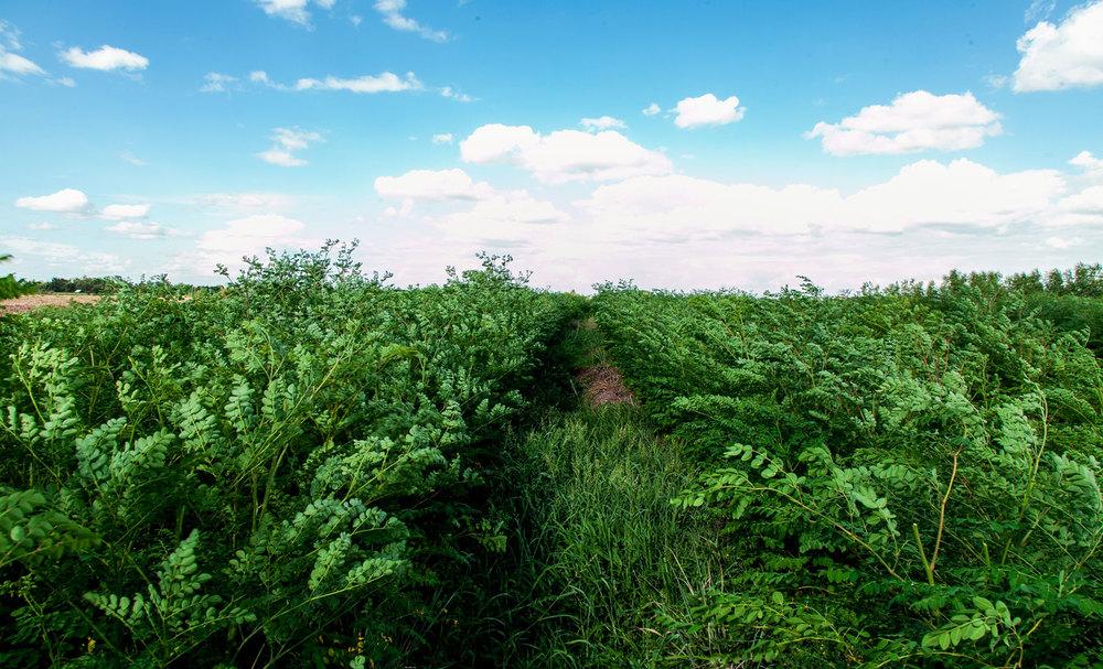 Herb Hero Moringa plantation