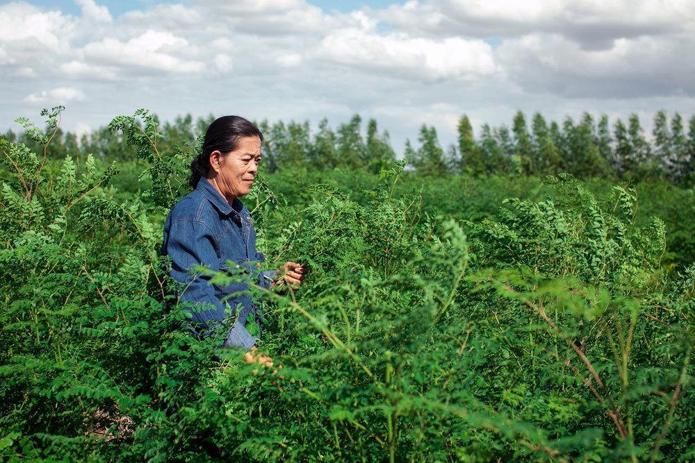 Herb Hero Sangad in Moringa field