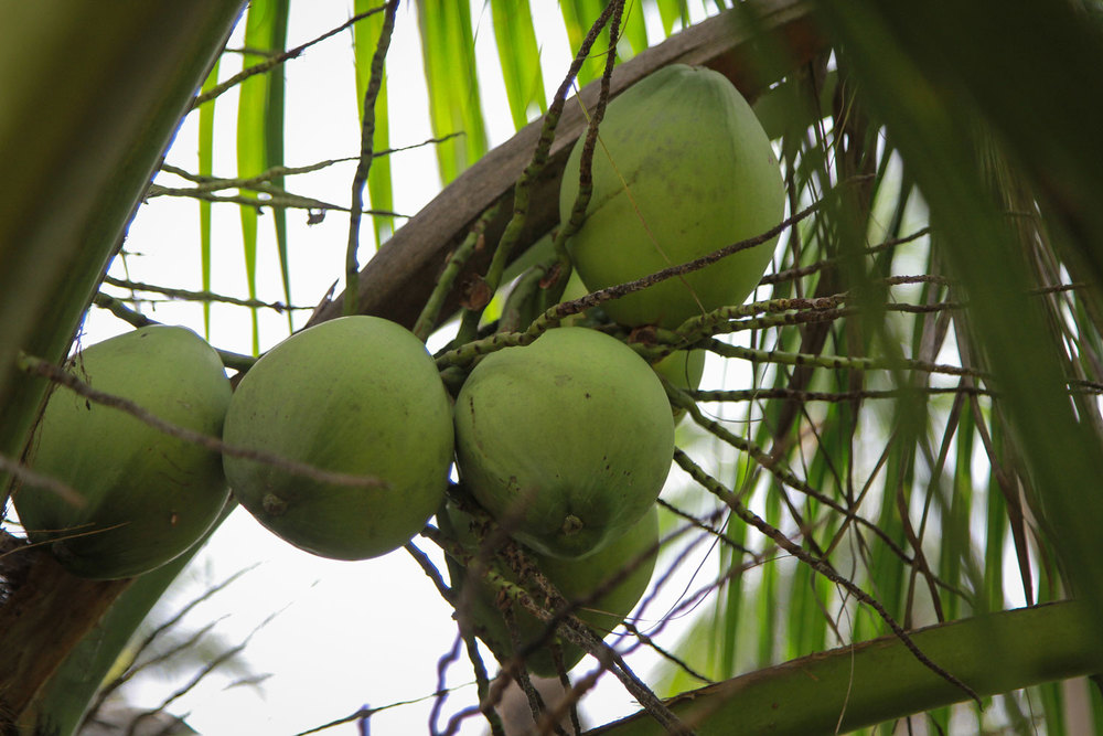 Herb Hero coconuts in palm tree