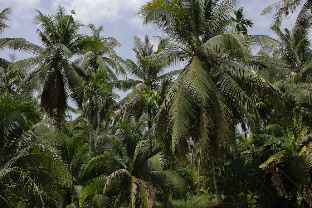 Herb Hero coconut palm trees