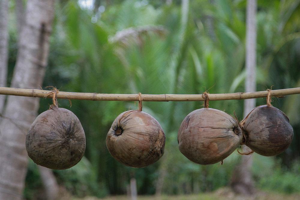 Herb Hero coconuts in row