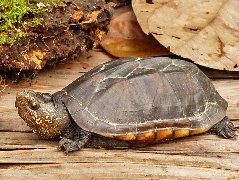 Kinosternon scorpioides  - Amazon Mud Turtle (Photo by Mike Pingleton)