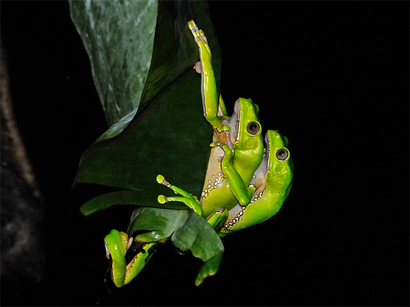 Phyllomedusa bicolor  - Giant Monkey Frog (Photo by Mike Pingleton)