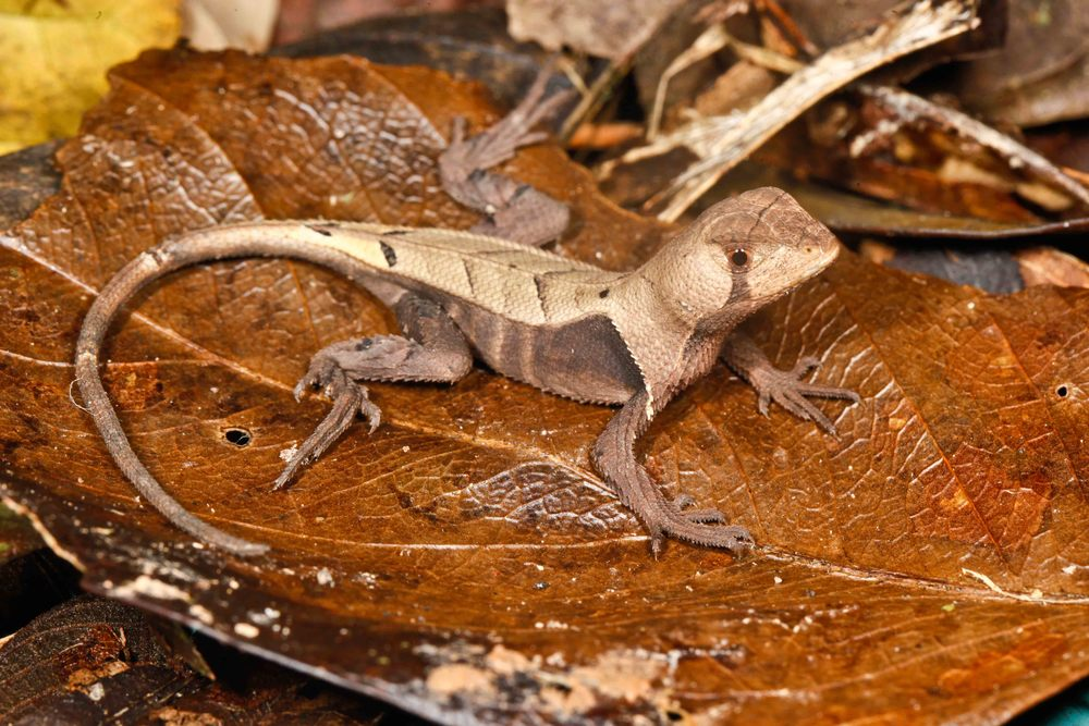 Stenocercus fimbriatus Amazon Leaf Lizard (Photo by Matt Cage)