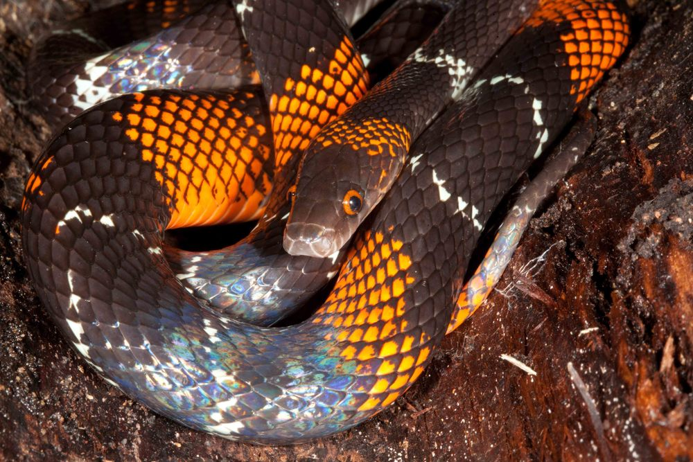 Oxyrhopus vanidicus, Black Headed Calico Snake (Photo by Matt Cage)