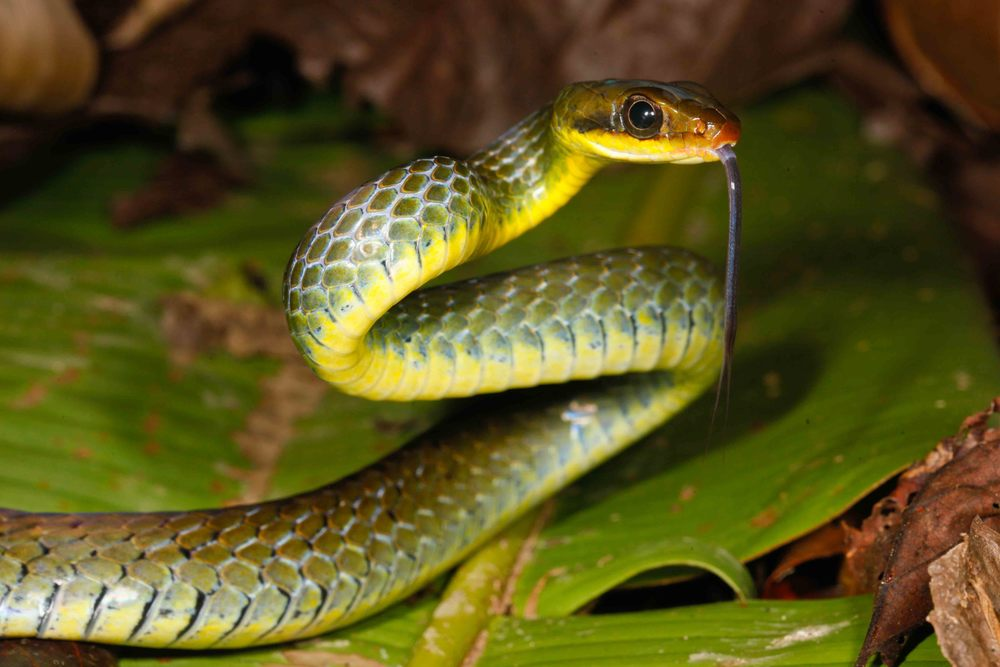 Chironius fuscus Olive Whipsnake (Photo by Matt Cage)